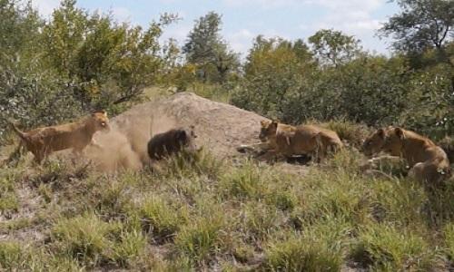 驼峰公猪逃脱了7只狮子
