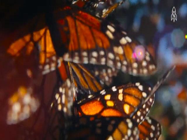 Rừng bướm đẹp như cổ tích ở Mexico