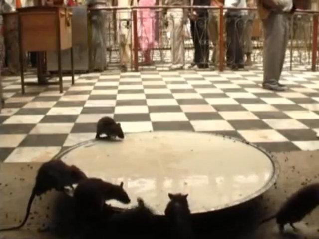 Ngôi đền chuột bò lúc nhúc dưới chân du khách ở Ấn Độ