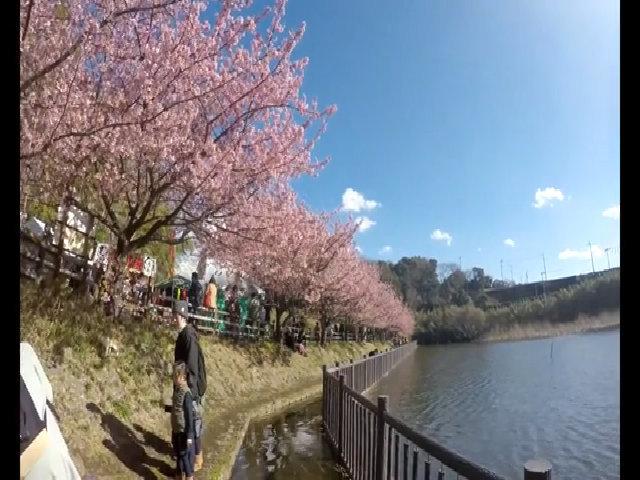 Hoa anh đào nở sớm ở Kawazu