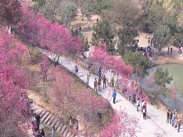Mùa hoa anh đào ở Đài Trung