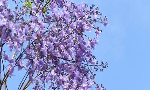 Mùa hoa phượng tím rực rỡ ở Sydney