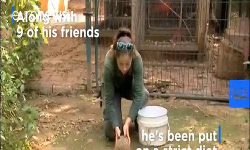 Béo đến không thể cuộn người, nhím phải vào vườn thú giảm cân