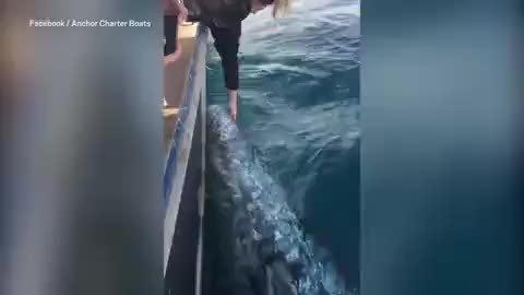 Du khách đối mặt 25.000 USD tiền phạt vì vuốt ve cá voi