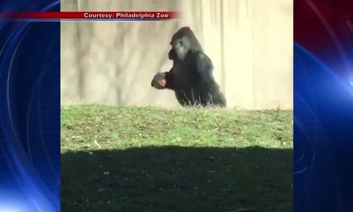 Louis - khỉ đột 'sang chảnh' và sạch sẽ nhất nước Mỹ/Louis- khỉ đột chuyên đi hai chân để giữ tay sạ