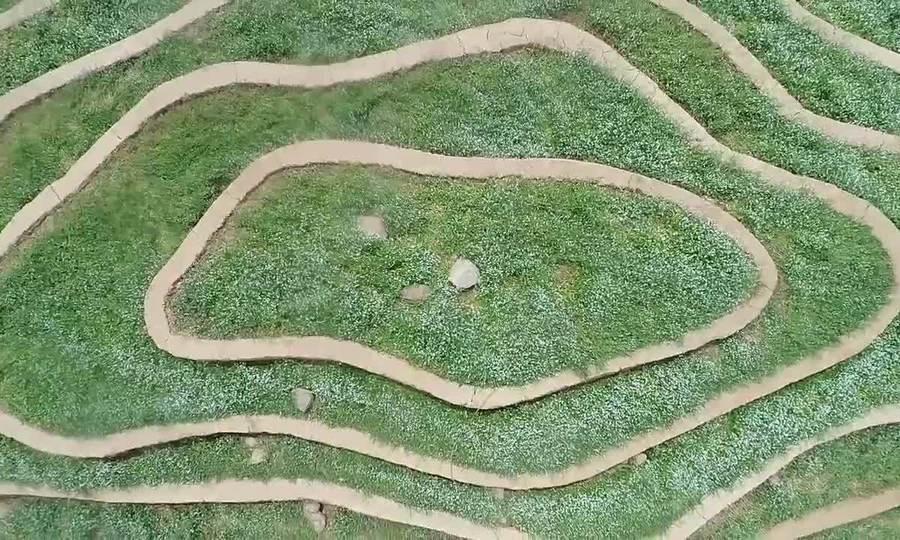 Cải vàng, trắng trồng trên ruộng bậc thang 'gây sốt' ở Hà Nội