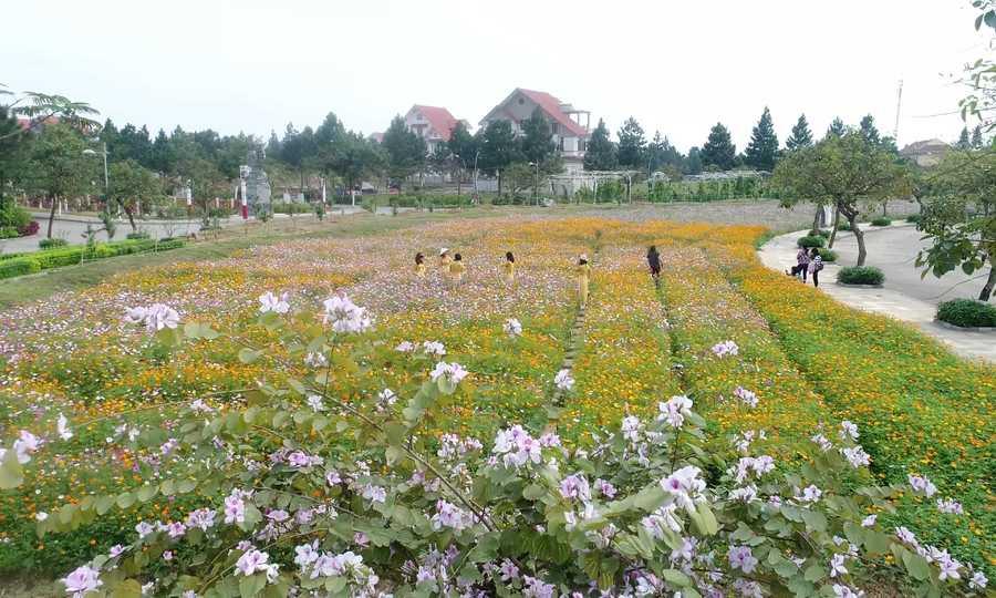 Cánh đồng hoa bướm ở Đan Phượng