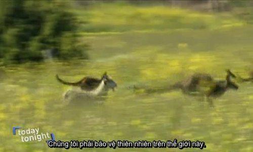 Dê bỏ đàn sống với bầy kangaroo trở thành ngôi sao ở Australia