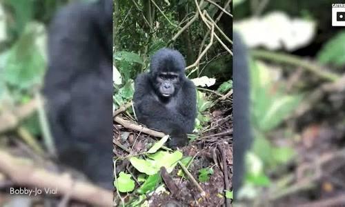 Khỉ đột con trộm áo khoác du khách chơi trốn tìm