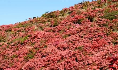 Mùa hoa đỗ quyên rực rỡ ở Nhật Bản