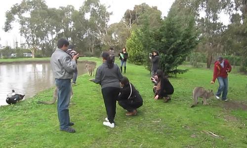 Hàng nghìn người rước họa vào thân khi dụ kangaroo ăn