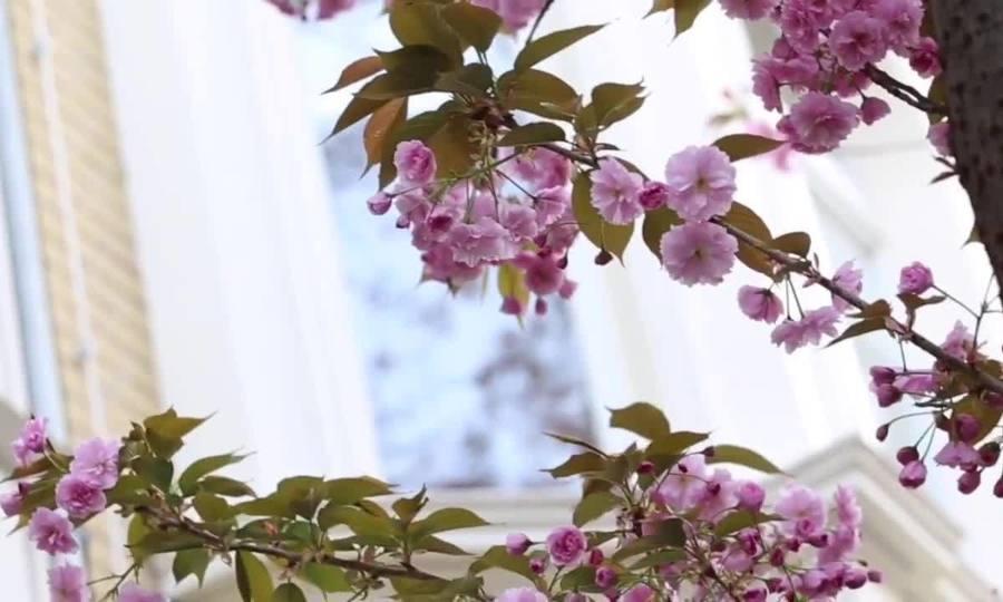 Khu phố rực hồng sắc hoa anh đào ở Đức