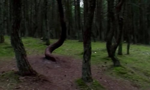 Khu rừng ma quái ở Nga/Những cái cây biết nhảy múa trong rừng Nga