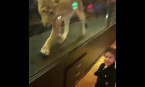 Quán cà phê bị chỉ trích vì nhốt sư tử mua vui cho khách - ảnh 1