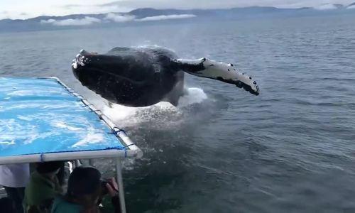 Cá voi văng mình khiến tàu chở đầy khách chao đảo ở Alaska
