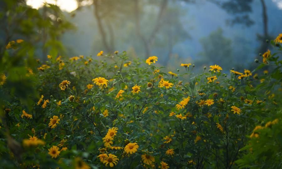 Khu rừng hoa dã quỳ mới ở VQG Ba Vì