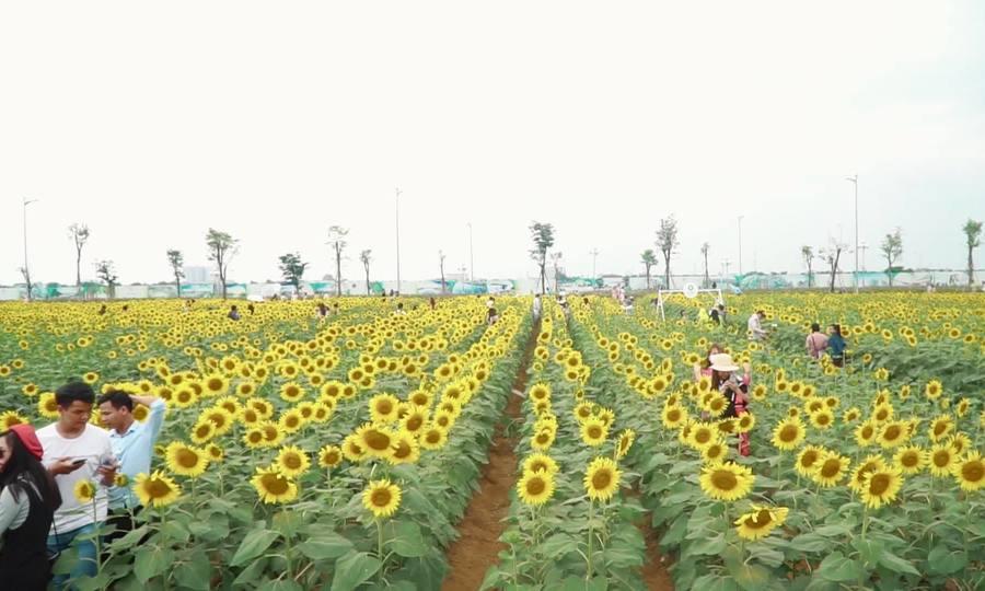 Người Sài Gòn đi hàng chục km để tham quan cánh đồng hướng dương/ Khách nườm nượp đi xem hoa hướng d