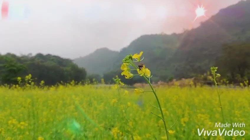 Vườn hoa cải vàng ở Ninh Bình