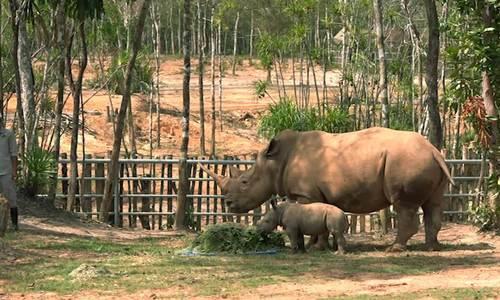 Mẹ con tê giác trắng châu Phi