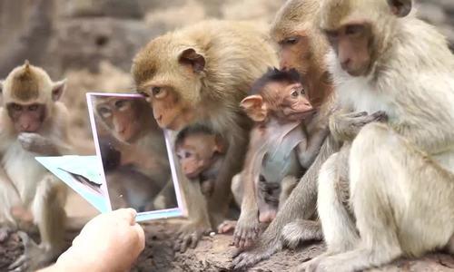 Du khách cho bầy khỉ thử soi gương ở Thái Lan - ảnh 1