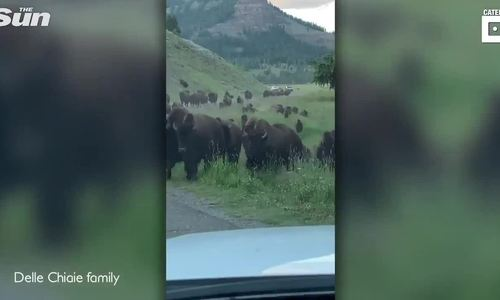 Du khách mất oan hàng nghìn USD vì bò rừng phá xe - ảnh 1