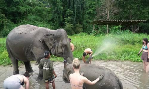 Tắm và massage cho voi ở Chiang Mai - ảnh 1