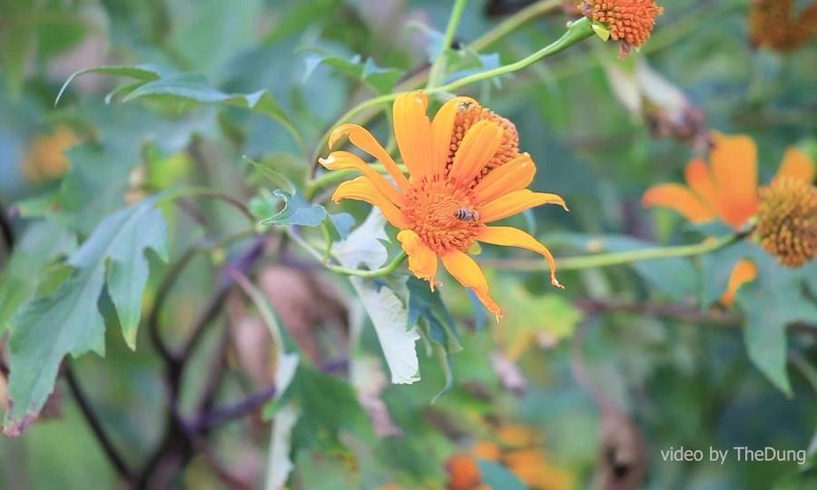 Mùa hoa dã quỳ trên núi lửa Chư Đăng Ya