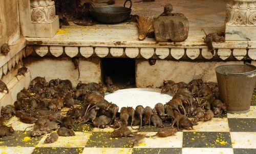 Bên trong đền thiêng có 25.000 con chuột - ảnh 1