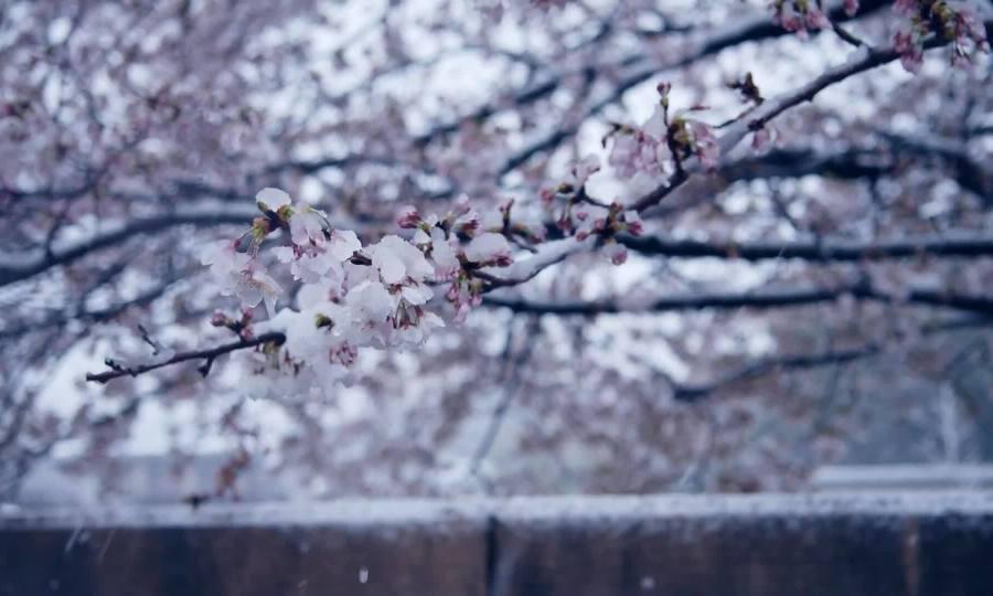 Tuyết rơi giữa mùa hoa anh đào