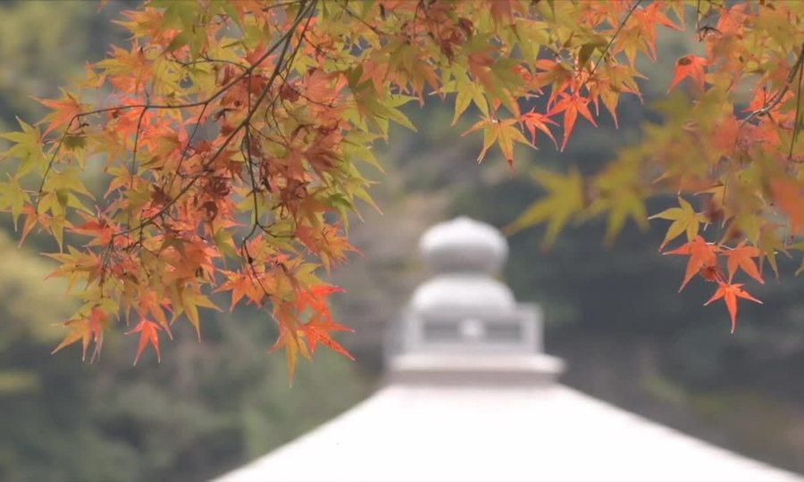 Cây phong 400 tuổi rực rỡ thay lá