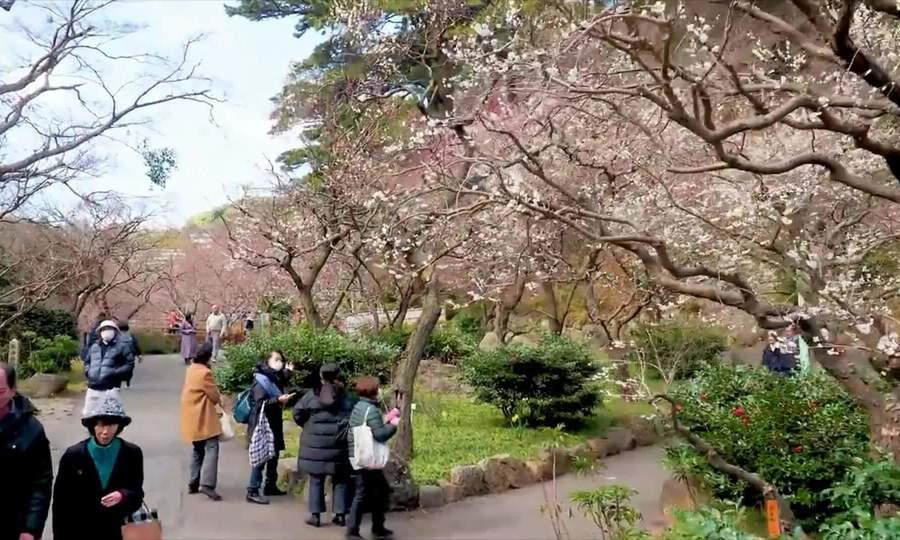 Nơi đầu tiên hoa mơ nở ở Nhật Bản