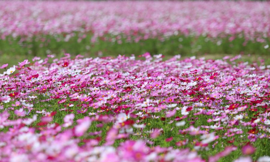 Du khách tham quan đồng hoa cánh bướm ở Hà Tĩnh