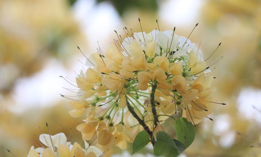 Cây hoa bún trăm năm tuổi toả hương khoe sắc