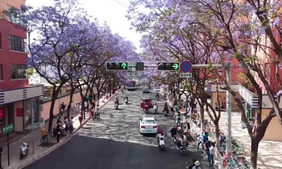 Hoa phượng nhuộm tím đường phố Côn Minh