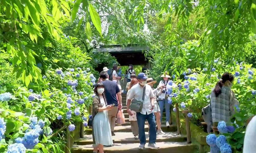 Thiên đường hoa cẩm tú cầu Nhật Bản