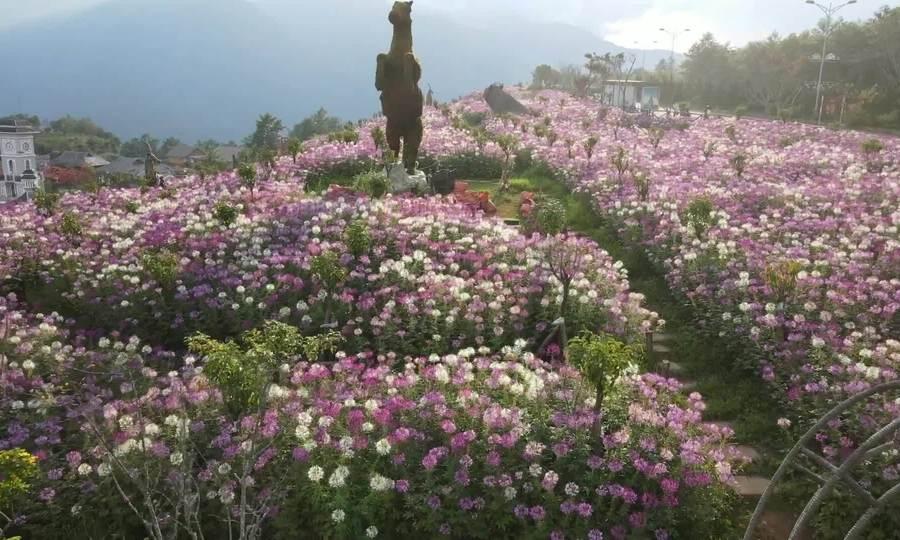 Rực rỡ sắc hoa Fansipan