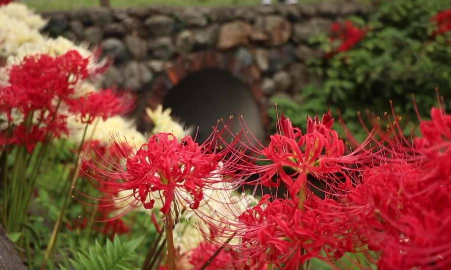 Hoa bỉ ngạn nở đỏ rực khắp Nhật Bản