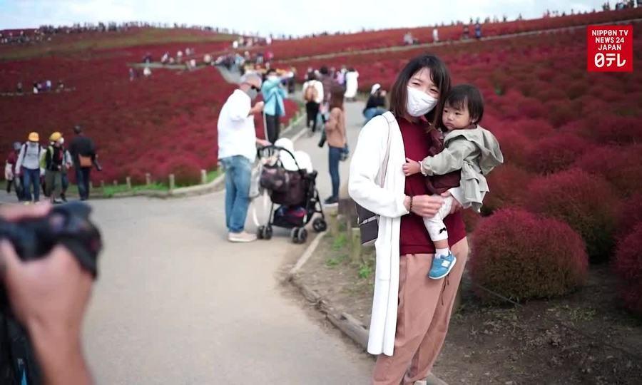 Mùa cỏ kochia đỏ rực ở Nhật Bản