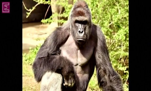 """Zoo defends decision to shoot gorilla: """"Looking back, we would make the same decision"""""""