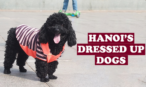 Hanoi's Dressed Up Dogs