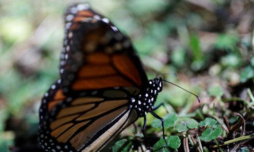It's butterfly season in Mexico