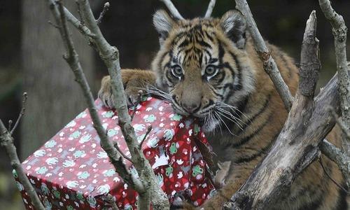 Tigers and meerkats enjoy seasonal treats at London zoo
