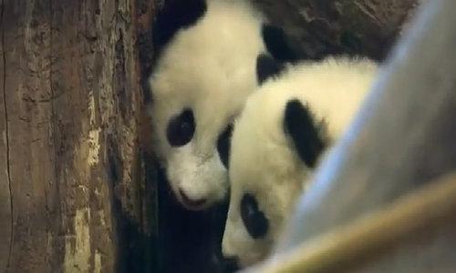Twin panda babies public debut at Austrian zoo