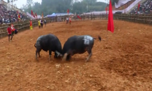 Violent scenes overwhelm annual buffalo-fighting festival in northern Vietnam
