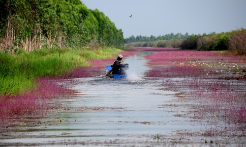 How beautiful aquatic flowers transform a Mekong Delta wetland