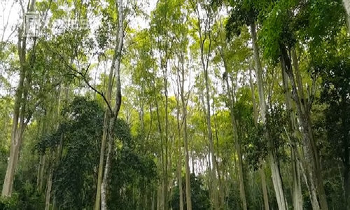 In central Vietnam, a wild forest is truly treasured