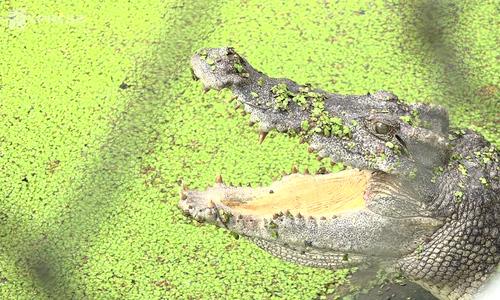 Thousands of crocodiles left hungry in Saigon farms amid price crisis
