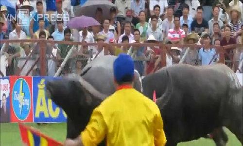 Dangerous moments at Do Son buffalo fight festival