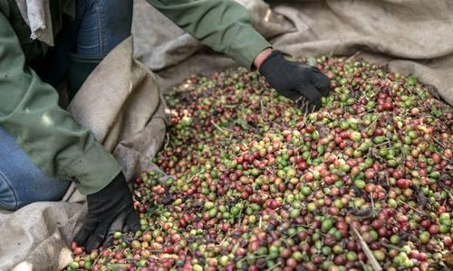 Inside Quang Tri's coffee plantation