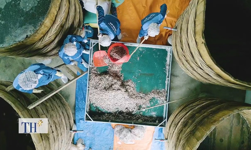 How the fish sauce is made in Me Island, Thanh Hoa Province.